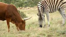 zebra con mucca